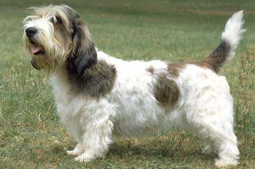 Anjing Petit Basset Griffon Vendeen