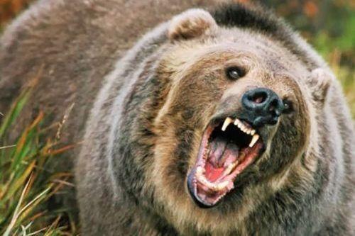 Beruang buas ganas