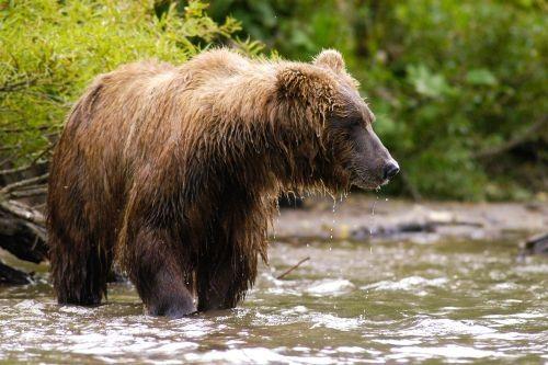 Beruang cokelat Kamchatka
