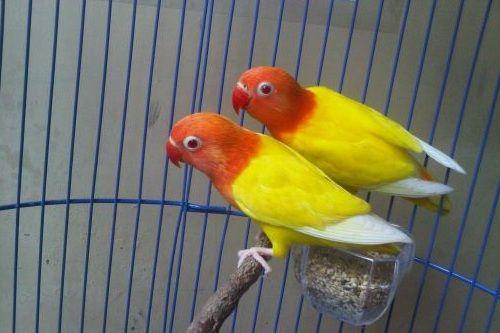 Lovebird lucu