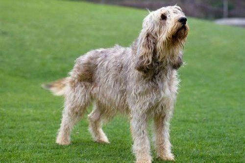 Ras anjing langka Otterhound